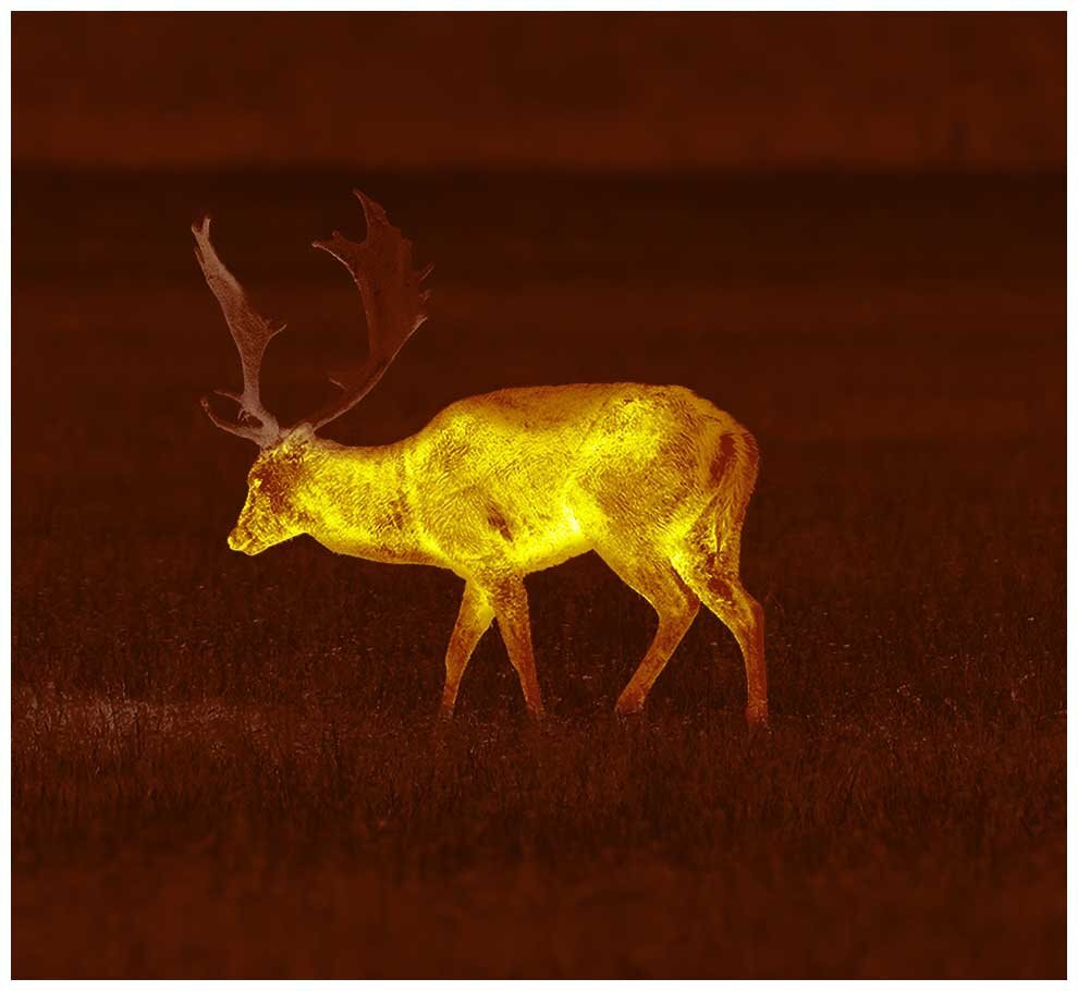 Fallow Deer with thermal imaging